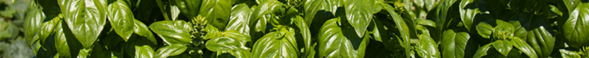 PV-Recipe-Banner-Basil-lg